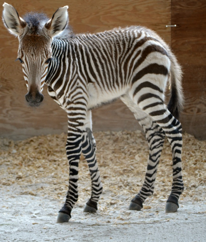 A New Baby Zebra at the Animal Kingdom Lodge Savanna