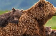 DisneyNature Bears Generates Support for National Parks