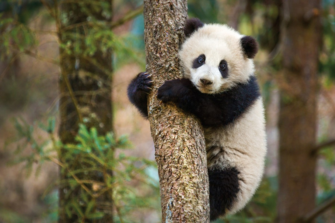 DisneyNature's Born in China Opening Weekend Will Benefit WWF