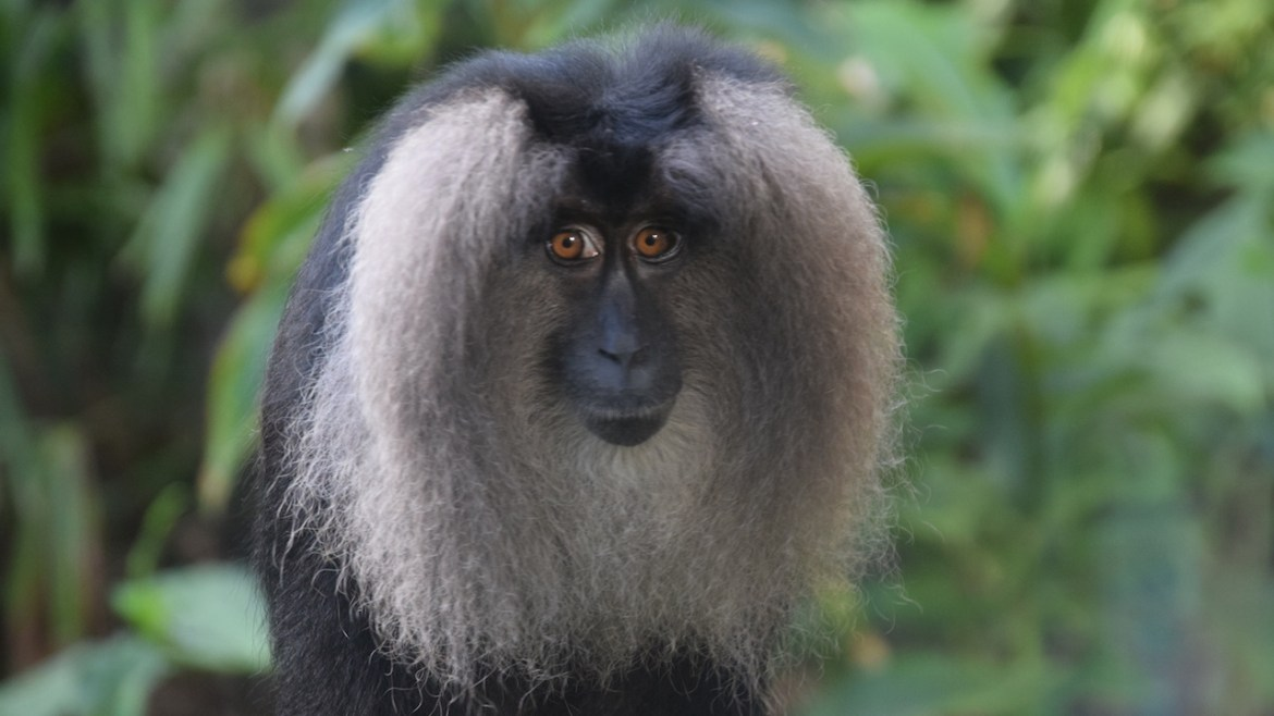 Rare Lion-Tailed Macaques Debut at Disney's Animal Kingdom Park