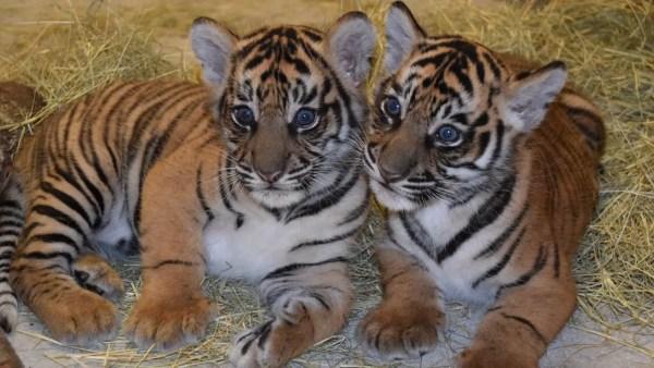 Happy 1st Birthday To Animal Kingdom Tiger Cubs Anala and Jeda! 1