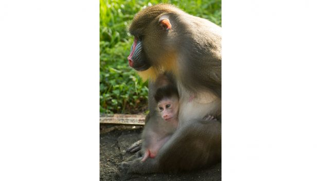 An Adorable Baby Mandrill was Just Born at Disney's Animal Kingdom