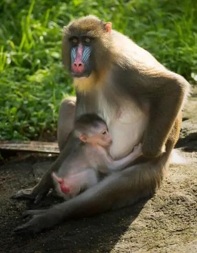 An Adorable Baby Mandrill was Just Born at Disney's Animal Kingdom 2
