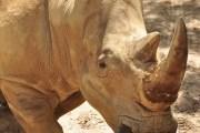 Get 'Up Close with Rhinos' at Disney's Animal Kingdom