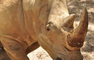 Get 'Up Close with Rhinos' at Disney's Animal Kingdom