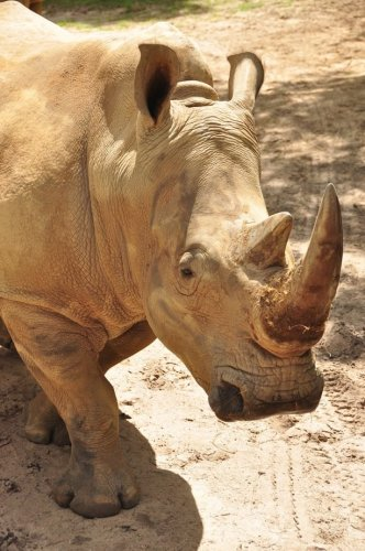 Up Close With Rhinos Tour At Animal Kingdom