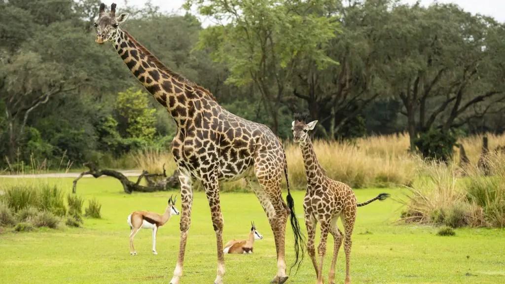 Meet Amira, the Newest Giraffe Calf at Disney's Animal Kingdom!