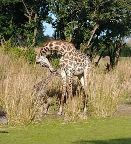 baby giraffe born at Animal Kingdom