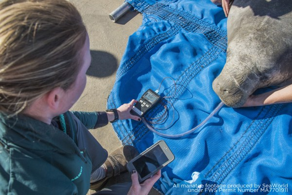 Sea World Providing Care to Rescued Cold-Stressed Manatee 1