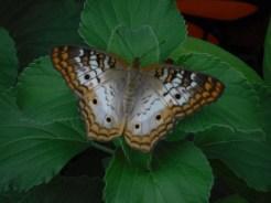 butterflyfg