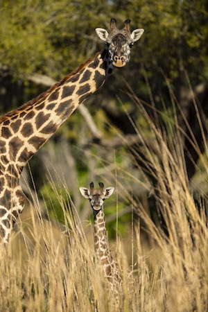 Happy Mother's Day with a Look at the Masai Giraffe Mamas and Their Babies! 6