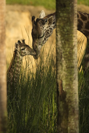 Happy Mother's Day with a Look at the Masai Giraffe Mamas and Their Babies! 5