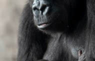 New Addition To Animal Kingdom's Gorilla Family
