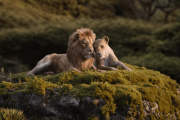 Beyoncé Sings 'Can You Feel The Love Tonight?' In NEW Lion King Trailer