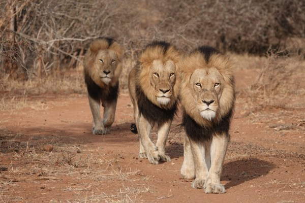 """Celebrate """"The Lion King"""" by Entering to Win an Epic Adventures by Disney South African Safari Vacation 1"""