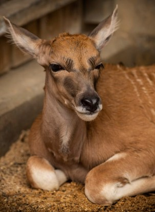 Disney's Animal Kingdom Welcomes Post-Storm Arrival Baby Eland