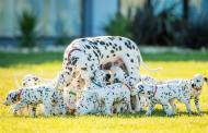 Meet the Real Life '101 Dalmatians' With a Record Breaking Litter of Puppies