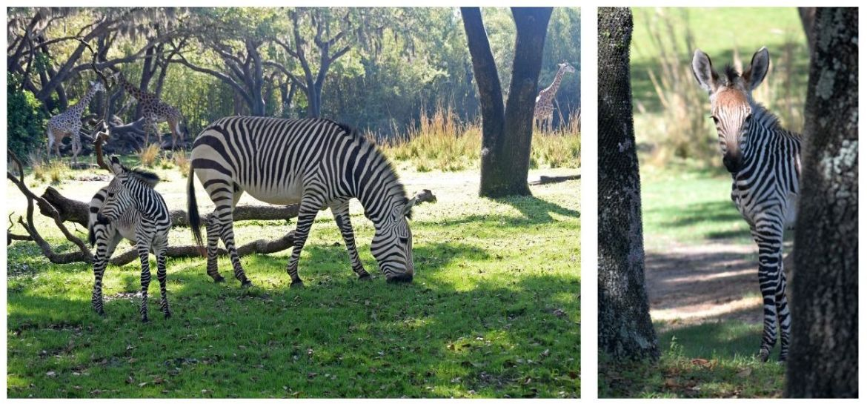 Baby Zebra at Disney's Animal Kingdom has a Beautiful Name!