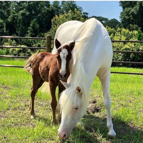 First Foal Born at Disney's Tri-Circle D Ranch! 1