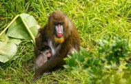 Video: Disney's Animal Kingdom Welcomes A Baby Mandrill!