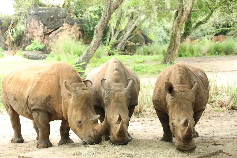 Three pregnant Rhinos at Disney's Animal Kingdom
