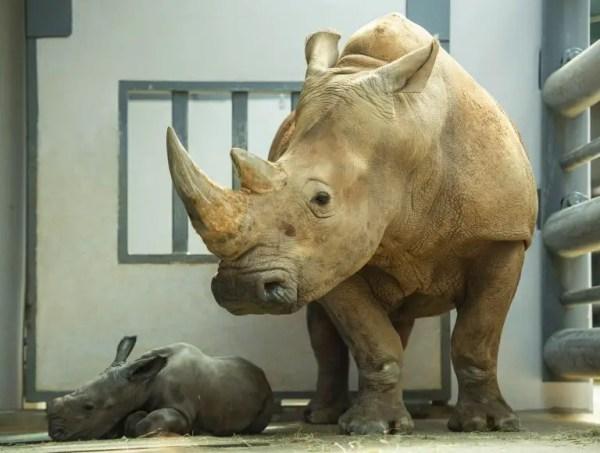 First Look at Disney's Animal Kingdom's New Baby Rhino 2