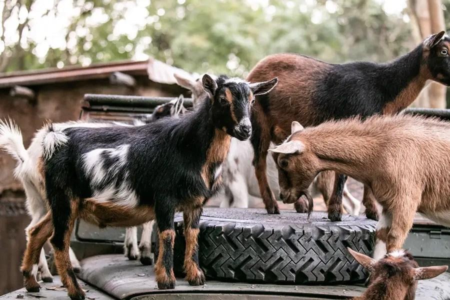 Nigerian Dwarf Goats Welcomed to Disney's Animal Kingdom Kilimanjaro Safaris