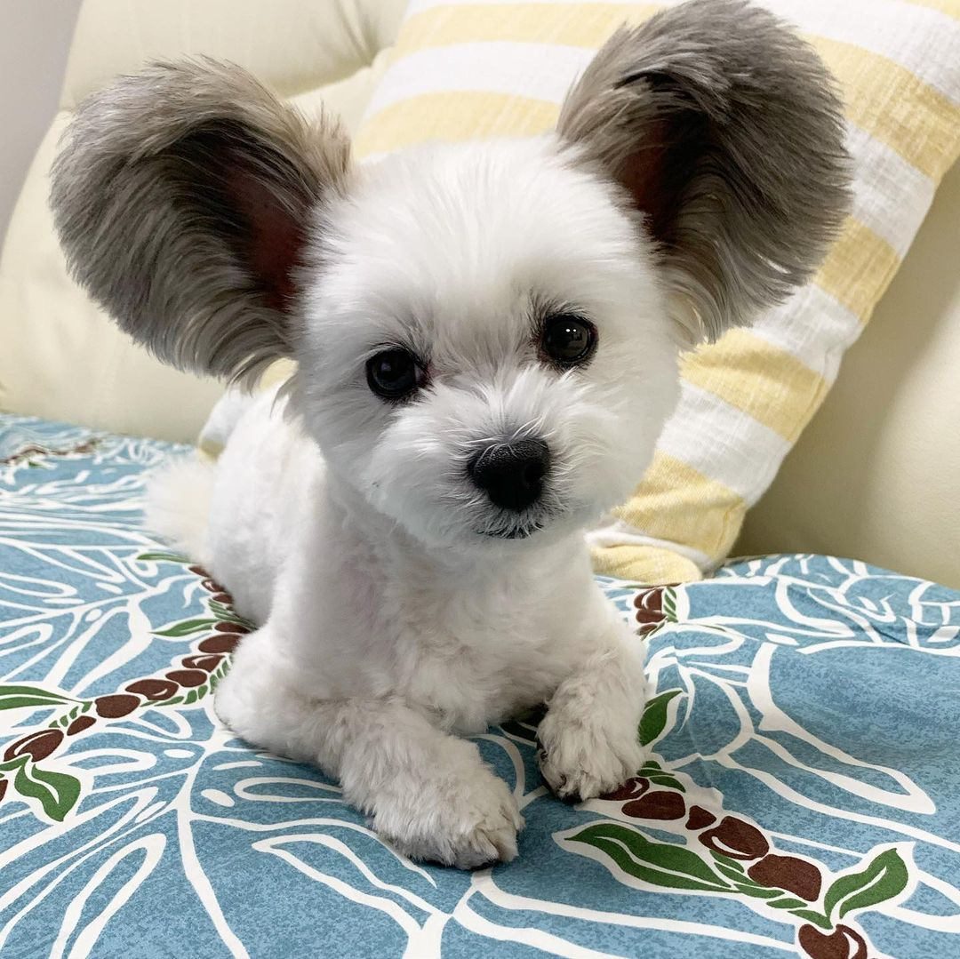 This super cute dog reminds us of Mickey Mouse