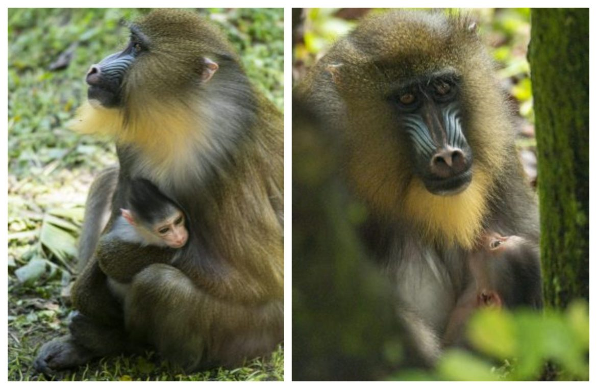 Disney welcomes Baby Mandrill to the Animal Kingdom