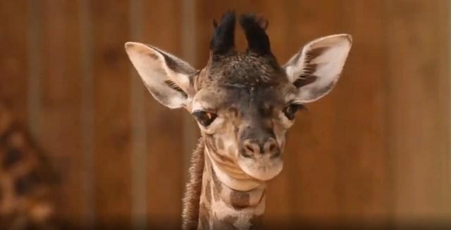 Baby Giraffe Calf born at Animal Kingdom