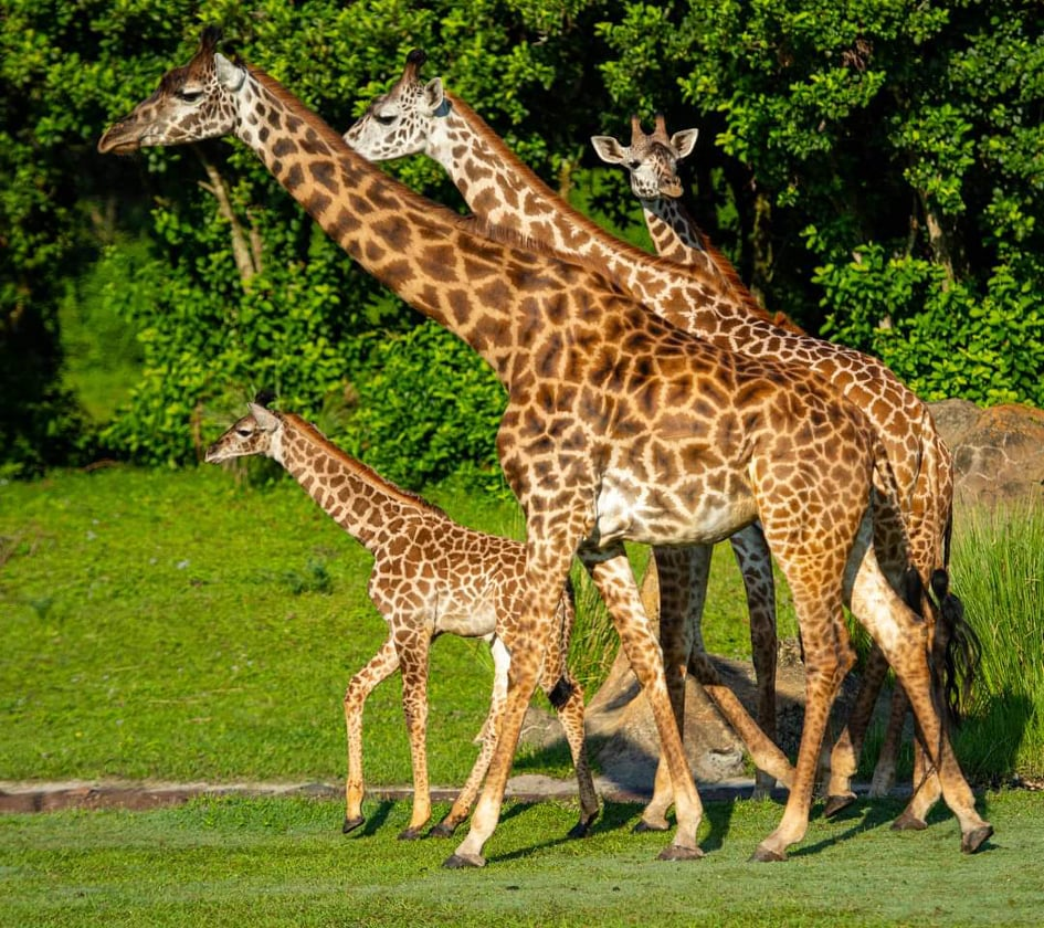 New baby giraffe joins her mom on the savannah at Kilimanjaro Safari 1