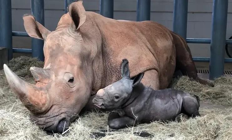 New Baby White Rhino born at Disney's Animal Kingdom