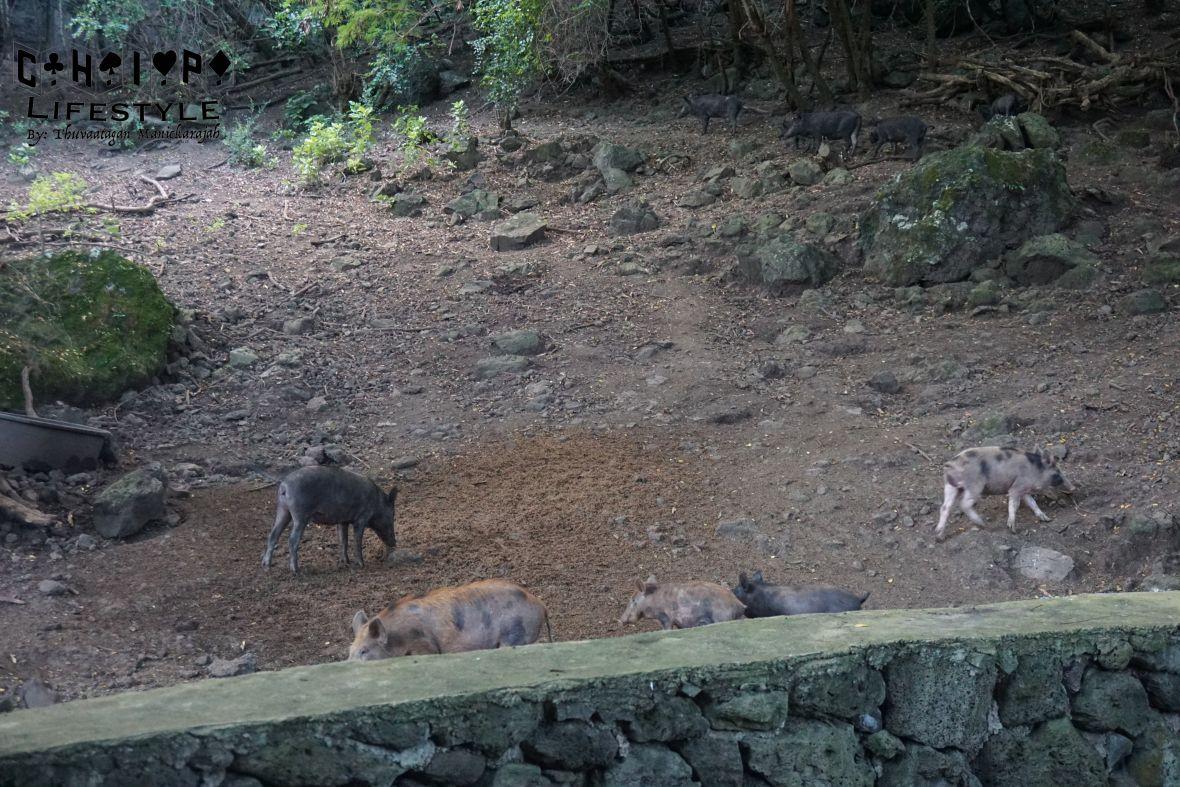 kualoa tour pig