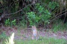 Bobcat watches coyote wander away