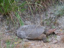 Turtle finding a nesting spot