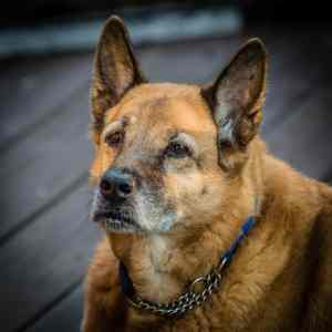 Lady, my 13yo Shepherd - Chow mix, is showing signs of her age.