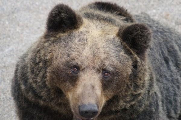 熊は冬眠しない?理由や種類による違い、餌と気温や季節の条件も解説