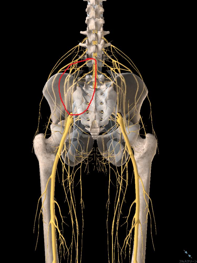 坐骨神経が刺激されて痛みを感じる
