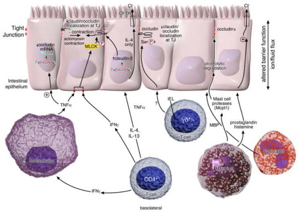 Immune regulation of intestinal barrier function.