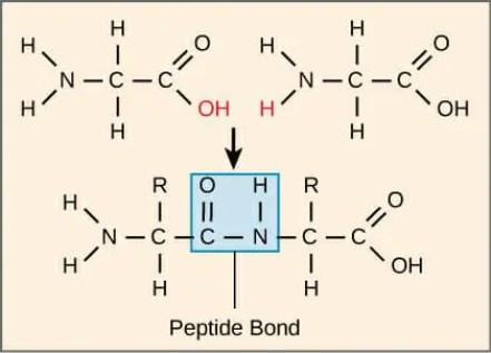 Peptide-Bond-Formation