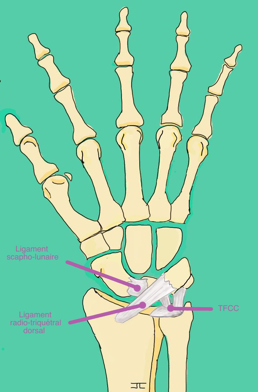 Main ligaments