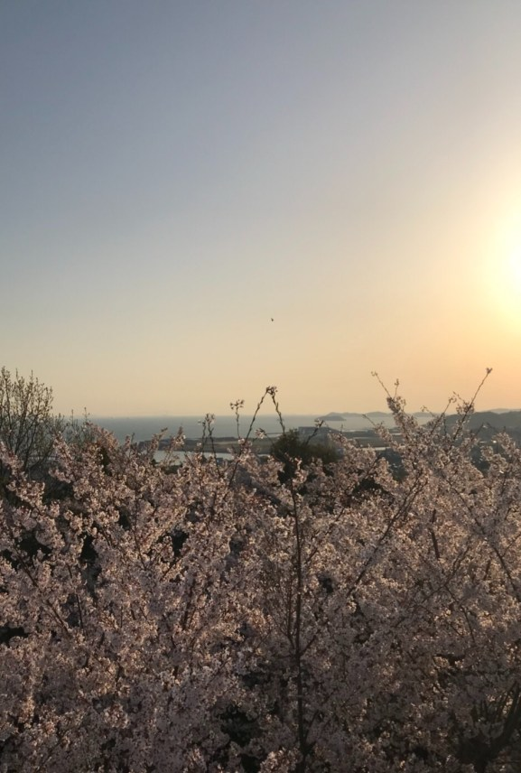 御津山 桜