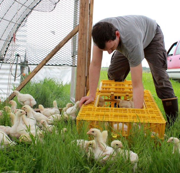 John Stanley lets out a batch of chicks to their pasture home.