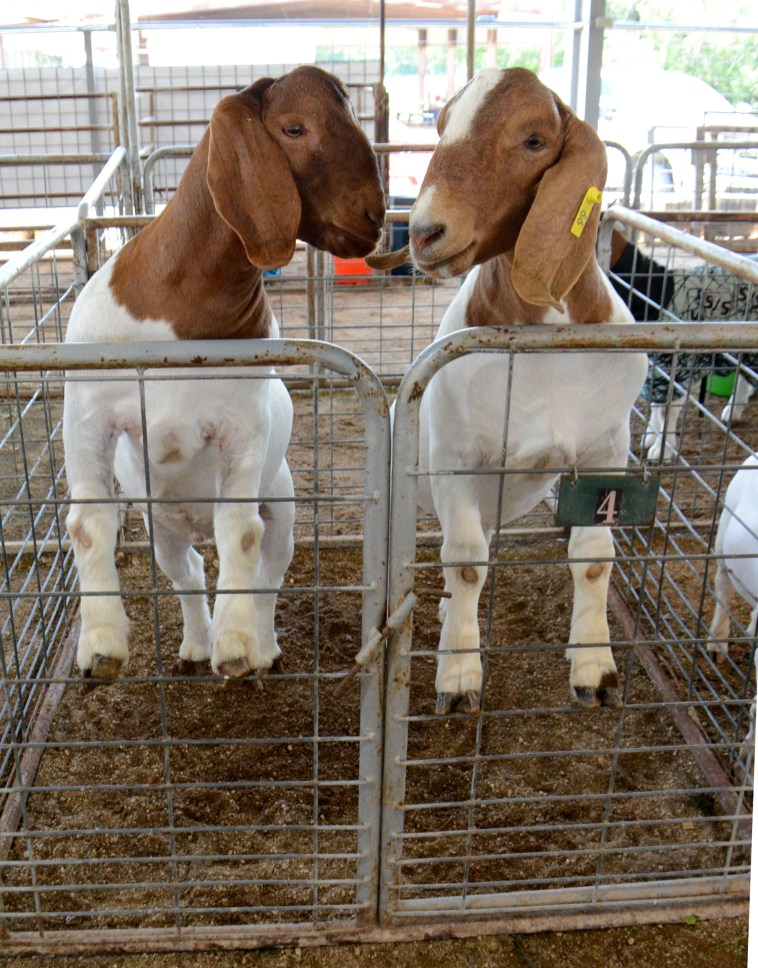 A pair of goats await their moment in the show ring at the 2020 Central Texas Youth Fair Market Goat Show, Friday, June 5.