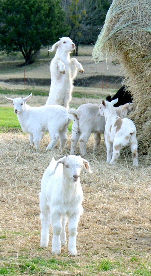 Baby goats frolic around the hay bale as their mommas are fed.