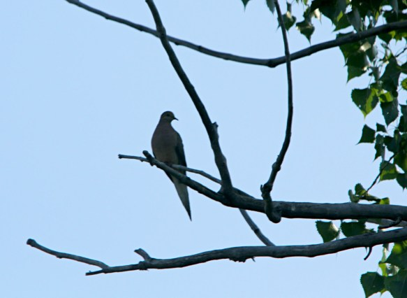 A silhouette of a mourning dove stands out on the tree branch.