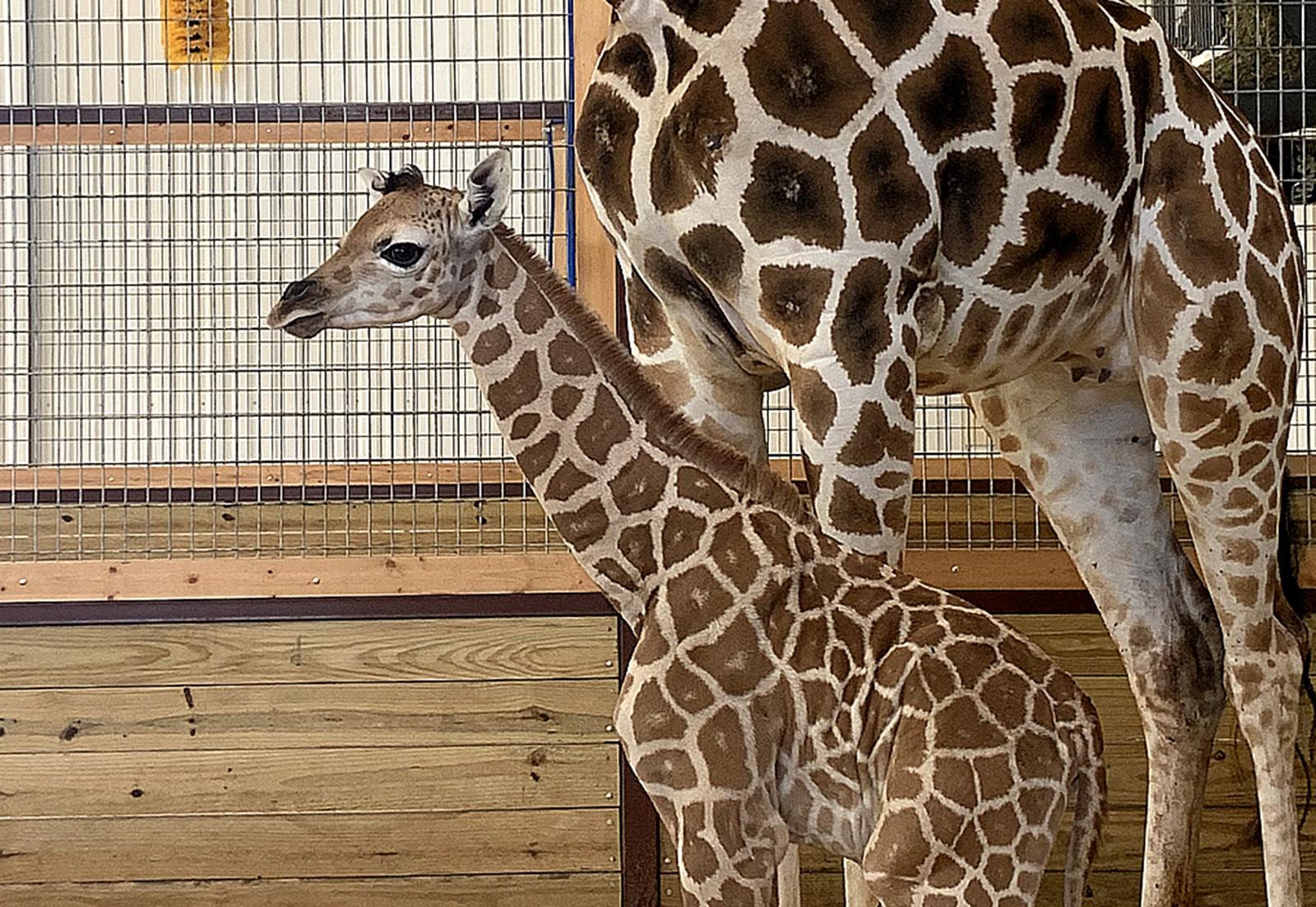 Gentle Giant Baby Born