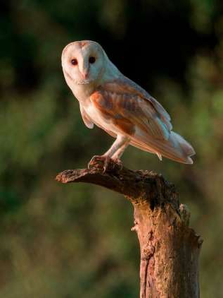 Andy Sands Wildlife photographer Barn Owl
