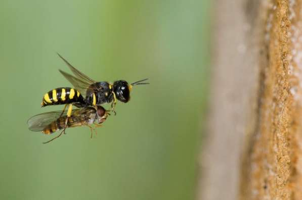 Andy Sands Wildlife photographer Digger Wasp ectemnius cavifrons