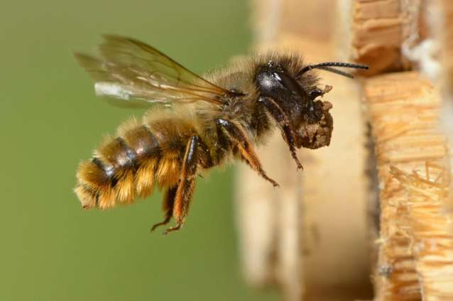 Andy Sands Wildlife photographer Red Mason Bee Osmia bicornis